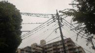 ●朝走っていると電線にびっしりと鳥がいました。 この下を通るととんでもなくウンコ爆弾の危険性が。