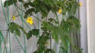 ●ゴーヤの花がたくさん咲いてきた。 どのくらい実がなってくれるのか楽しみ。