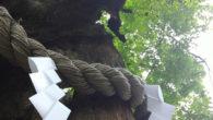 ●今朝神社のご神木から巣立ったとみられる セミの抜け殻発見。